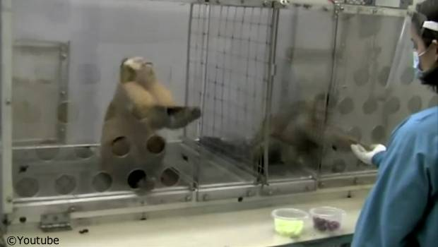 irate monkey